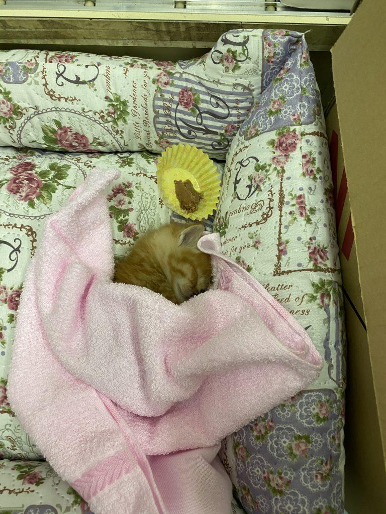 雪月花 子猫